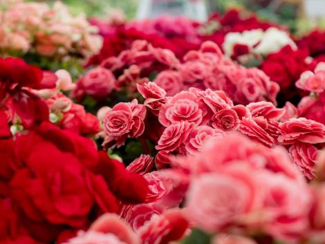 rózsa szüret