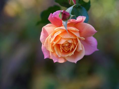 rózsa szeretetnyelv