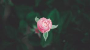 rózsa jótékony hatása