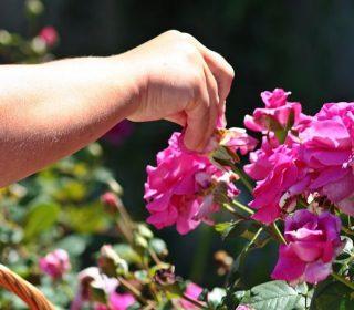 rozsa-szuret